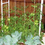 Broccoli and tomato plants
