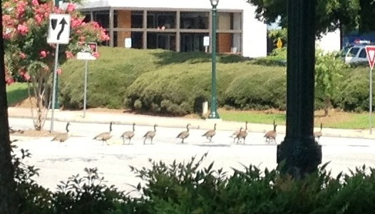 Ducks Crossing Intersection - Close Up