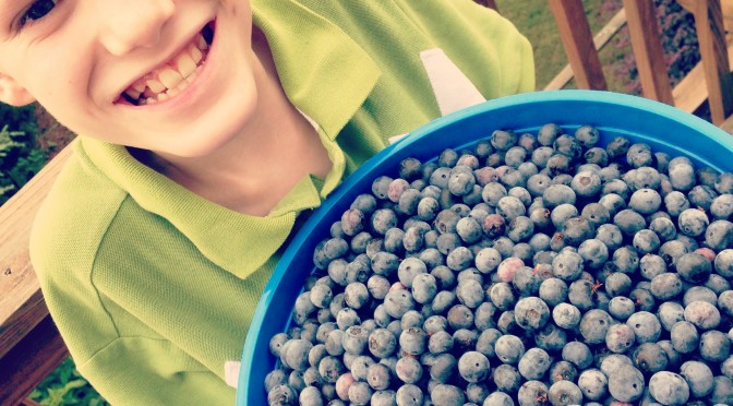 Blueberry Harvest!