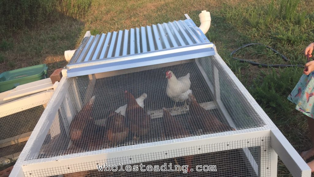 The chickens enjoying their new tractor